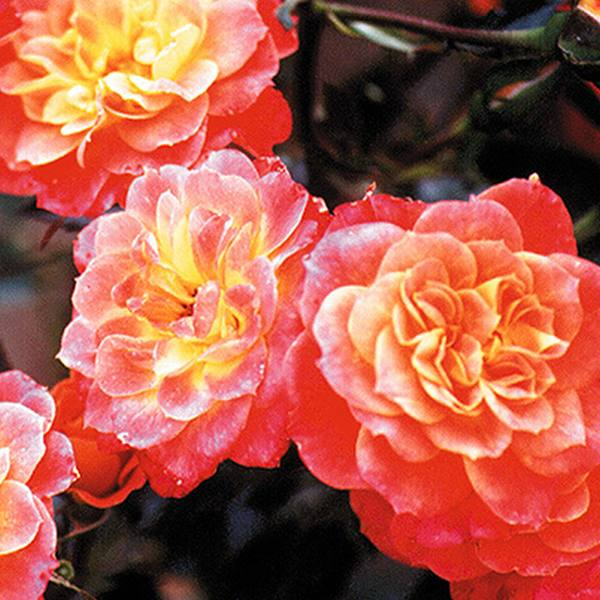 Mandarin' Bush Rose - 4L Pot