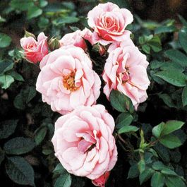 Pretty Polly' Patio Rose - Bare-root