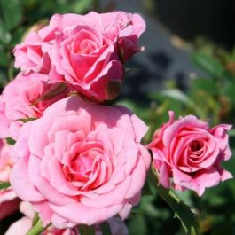 Pretty Polly' Patio Rose - 4L Pot