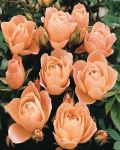 Sweet Dreams' Patio Rose - 4L Pot