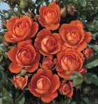 Top Marks' Patio Rose - 4L Pot