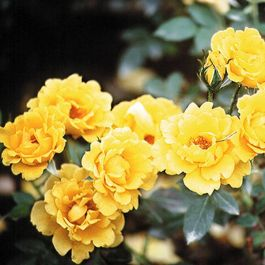 Yellow Patio' Patio Rose - 4L Pot
