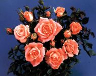 Flower Power' Patio Rose - 4L Pot