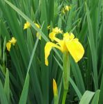 Yellow Flag - Iris pseudacorus - 3L Pot
