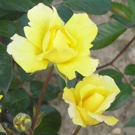 'Golden Showers' Climber Rose - 5.5L Pot