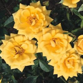 Good As Gold' Climber Rose - 5.5L Pot