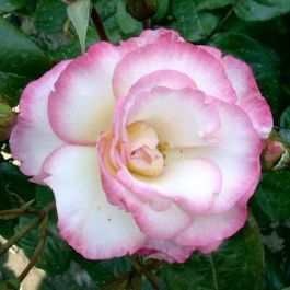 Handel' Climber Rose - Bare-root