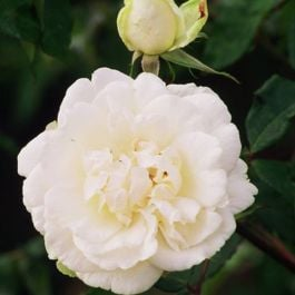 Madame Alfred Carriere' Climber Rose - 5.5L Pot