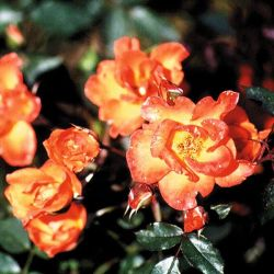 Warm Welcome' Climber Rose - Bare-root