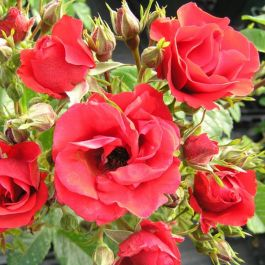 Super Elfin' Rambler Rose - Bare-root
