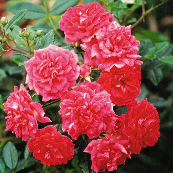Super Excelsa' Rambler Rose - 5.5L Pot