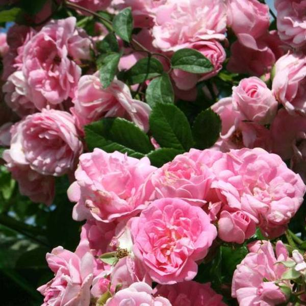Super Fairy' Rambler Rose - 5.5L Pot