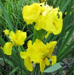 Double Yellow Flag Iris Pseudacorus Flore Pleno - 3L Pot