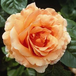 Lord Byron' Climber Rose - 5.5L Pot