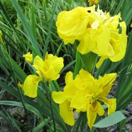 Large Double Yellow Flag Iris Pseudacorus Flore Pleno - 3L Pot