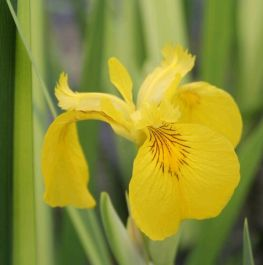 Large Yellow Flag Iris 'Variegated' Iris pseudacorus 'Variegata' - 3L Pot