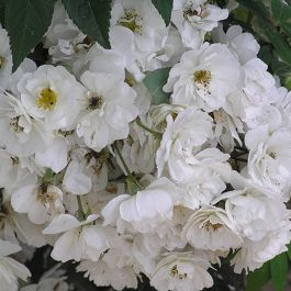 Rambling Rector' Rambler Rose - 5.5L Pot
