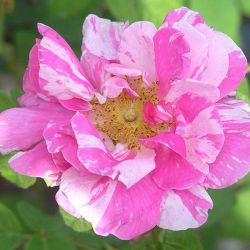 Rosa Mundi' Bush Rose - 5.5L Pot