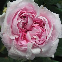 Queen Of Denmark' Bush Rose - 5.5L Pot
