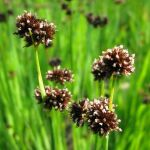 Green Rush - Juncus ensifolius - 3L Pot