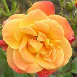 Joseph's Coat' Bush Rose - 5.5L Pot
