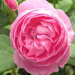 La Reine Victoria' Shrub Rose - 5.5L Pot