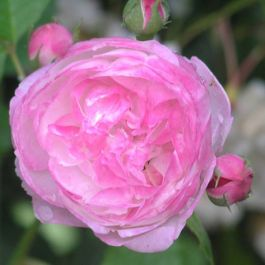 Madame Pierre Oger' Shrub Rose - 5.5L Pot