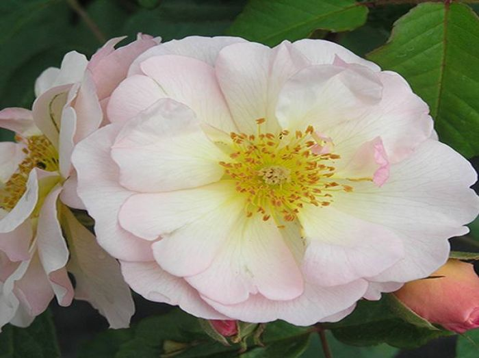 Penelope' Shrub Rose - 5.5L Pot