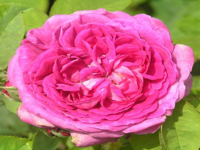 Reine des Violettes' Bush Rose - 5.5L Pot