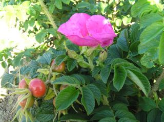 Rubra' Shrub Rose - 4L Pot