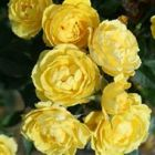 Golden Wishes' Patio Rose - 5.5L Pot