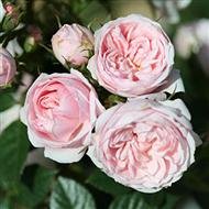 Silver Wishes' Patio Rose - Bare-root