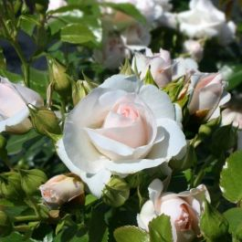 Special Child' Bush Rose - 5.5L Pot