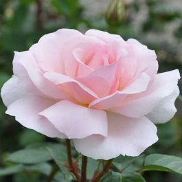 A Whiter Shade Of Pale' Bush Rose - 5.5L Pot