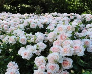 'Chandos Beauty' Bush Rose - 5.5L Pot
