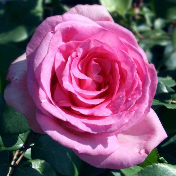 Pink Perfection' Bush Rose - 5.5L Pot