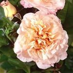Rachael' Bush Rose - 5.5L Pot