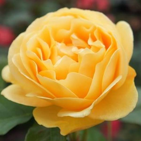 'Absolutely Fabulous' Bush Rose - 4L Pot