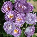 Blue For You' Bush Rose - 5.5L Pot