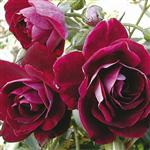 Burgundy Ice' Bush Rose - 5.5L Pot