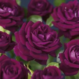 'Burgundy Ice' Bush Rose - 4L Pot