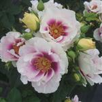 Eyes For You' Bush Rose - 5.5L Pot