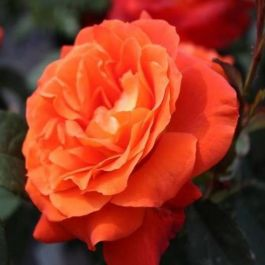 'Super Trouper' Bush Rose - 4L Pot