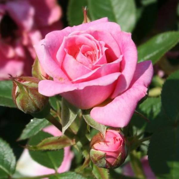 Carefree Days' Patio Rose - 5.5L Pot