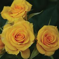 Flower Power Gold' Patio Rose - Bare-root