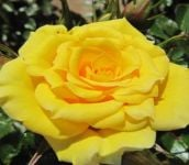 Flower Power Gold' Patio Rose - 5.5L Pot