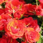 Scarlet Patio' Bush Rose - 5.5L Pot