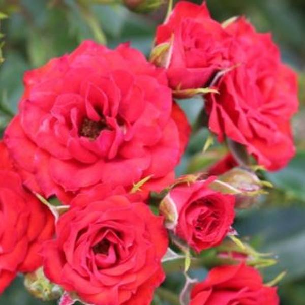 the rose bush in the scarlet Free essay: symbolism of the rose bush in the scarlet letter on the breast of  her gown, in fine red cloth surrounded with an elaborate embroidery and.