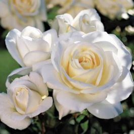 'White Patio' Patio Rose - 5.5L Pot