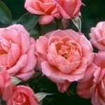 Star Performer' Climber Rose - 5.5L Pot